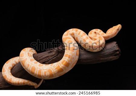Burmese python(Python bivittatus) - stock photo