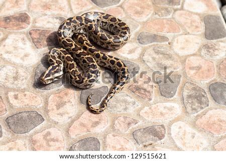 Burmese python (Python molurus bivittatus) on backyard - stock photo