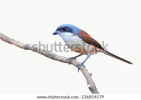 Burmese Shrike bird (Lanius collurioides) perching on a branch on white background