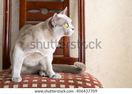 Burmese young kitty with a curious look - stock photo