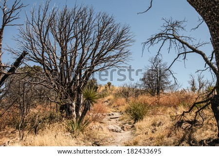 Burned black by fire, decorative tree with branches against blue sky in desert area/Stark Beauty of Blackened Fire-Burned Branches of Tree against Blue Sky/Silhouette of burned tree - stock photo