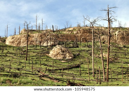 Burned hillside forest seen a couple of years after the fire, when green grass is already growing. - stock photo