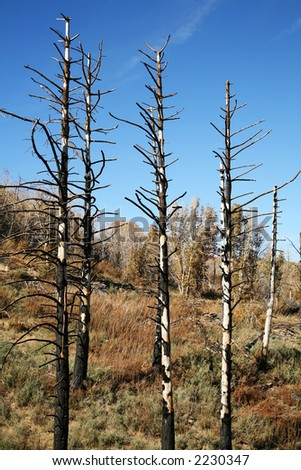 Burned trees in the wilderness with brown brush.  Regrowth from a forest fire.