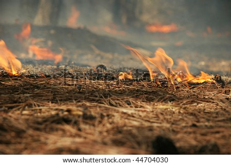 Burning pine needles in the forest - stock photo