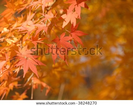 Burning red autumn Japanese maple leaves with copy space.