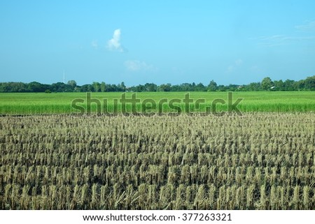 burning rice field after harvesting, Burning straw stubble farmers may smoke pollution - stock photo