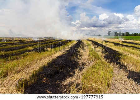 Burning rice stubble may cause smoke pollution is harmful to the environment. - stock photo