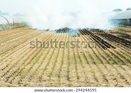 Burning straw in rice plantation - stock photo