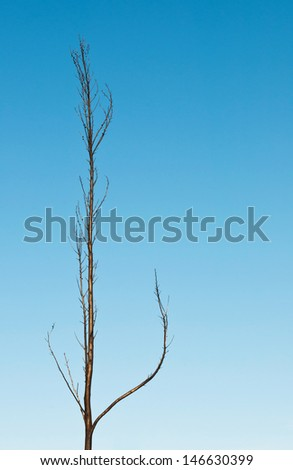burnt pine tree after fire against a blue sky background - stock photo