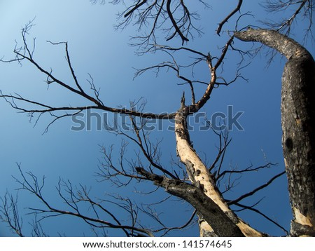 Burnt trees after a forest fire - stock photo