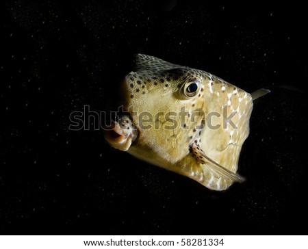 Burrfish - night dive - stock photo