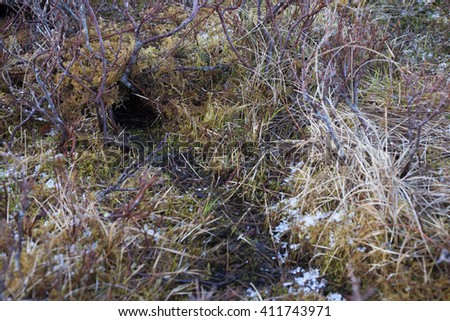 Burrow entrance of european water vole between low vegetation at early spring in Helgeland, Norway.  - stock photo
