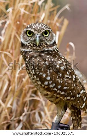 Burrowing Owl - stock photo