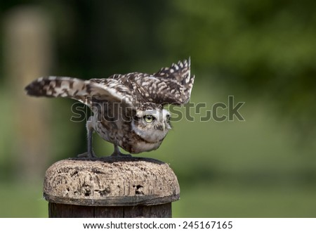 Burrowing owl about to take flight - stock photo