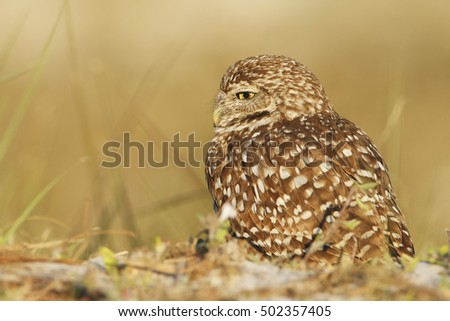 Burrowing owl (Athene cunicularia floridana) looking to the left, Cape Coral, Florida, USA