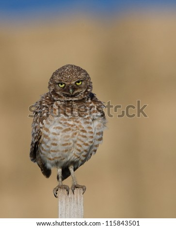 Burrowing Owl, Athene cunicularia, perched against a natural background - stock photo