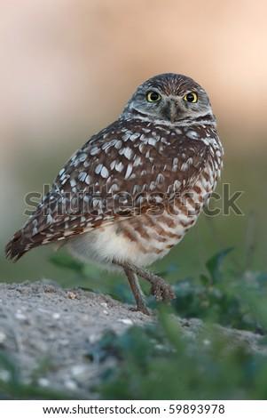 Burrowing Owl balancing on one foot. - stock photo