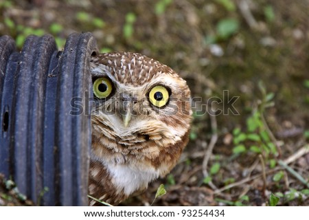Burrowing Owl in culvert - stock photo