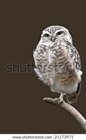 Burrowing Owl isolated on a branch. - stock photo