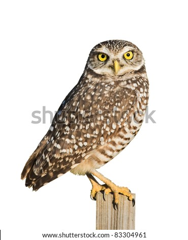 Burrowing Owl isolated on white.Latin name - Athene cunicularia. - stock photo