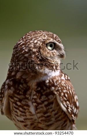 Burrowing Owl looking away - stock photo