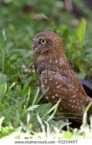 Burrowing Owl near culvert - stock photo