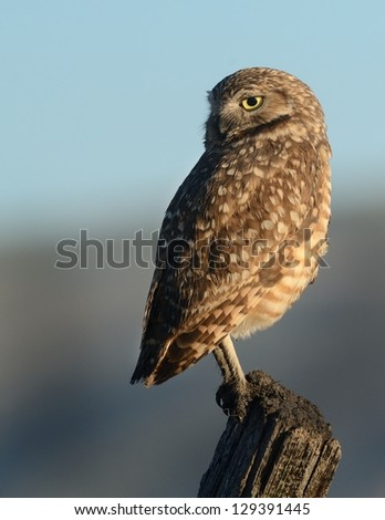 Burrowing Owl On a Post 1 - stock photo