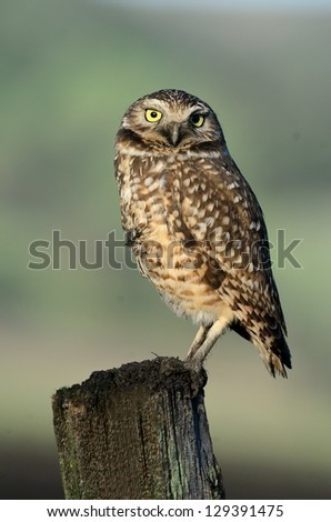 Burrowing Owl On a Post 3 - stock photo