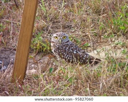 Burrowing owl outside his burrow. - stock photo