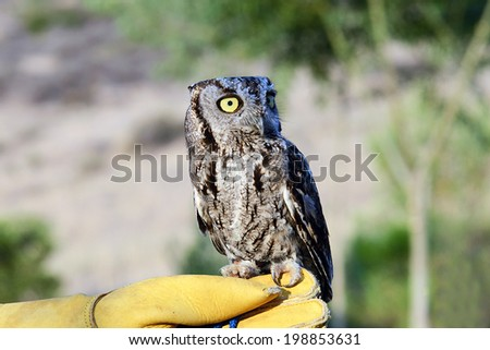 Burrowing Owl perched on glove - stock photo