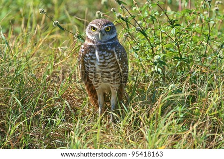 Burrowing Owl stands guard. - stock photo