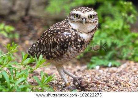 Burrowing owl with prey - stock photo