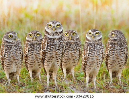 Burrowing Owls annual meeting. Local gang. Latin name - Athene cunicularia. - stock photo