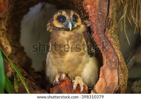 Burung Hantu punggur, brown wood owl in Kuala Lumpur, KL Bird Park, Malaysia - stock photo