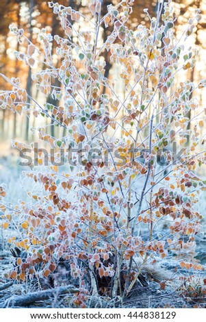 Bush covered with frost in the autumn forest on a background of the sun rays