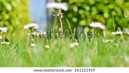 bush daisies in green grass - stock photo