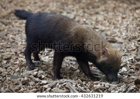 Bush dog (Speothos venaticus). Wildlife animal.  - stock photo