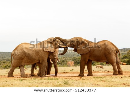 Bush Elephants standing playing with their trunks in the field.