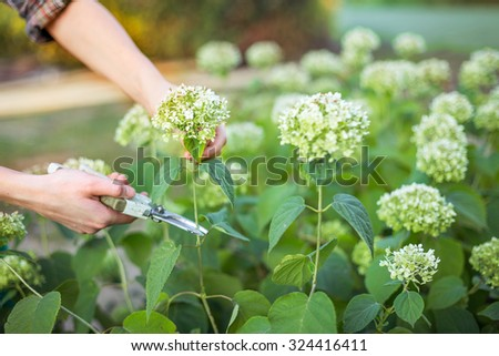Bush (hydrangea) cutting or trimming  with secateur in the garden - stock photo