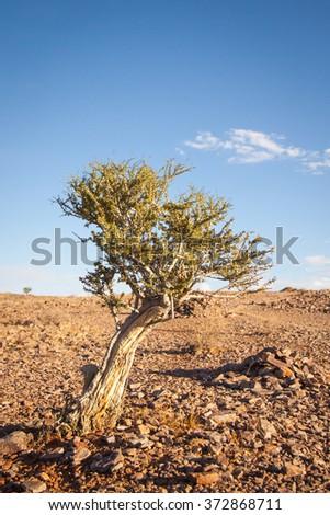 Bush in the Desert near Fish River Canyon, Namibia - stock photo