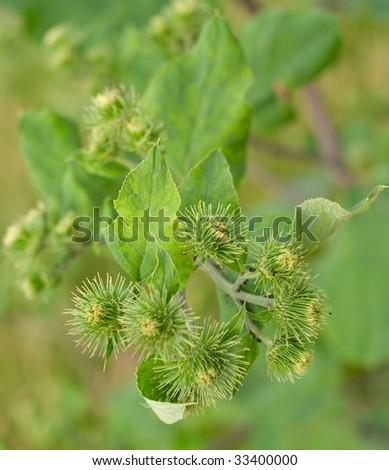 Bush of a burdock on green background. Shallow DOF