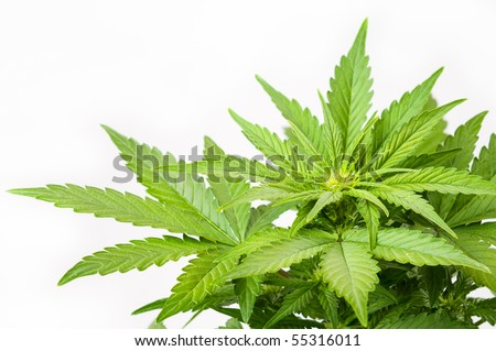 Bush of a hemp - stock photo