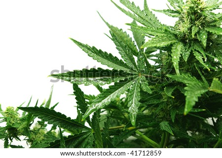 Bush of a hemp with drops on leaves on a white background - stock photo