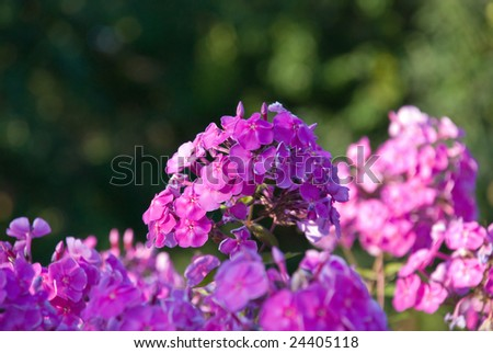 Bush of a pink Phlox with small DOF - stock photo