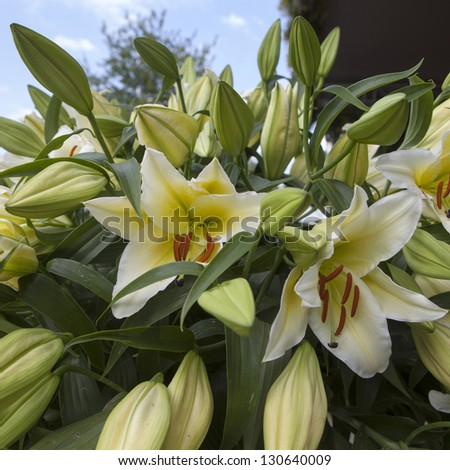 Bush of a white lily against blue sky - stock photo