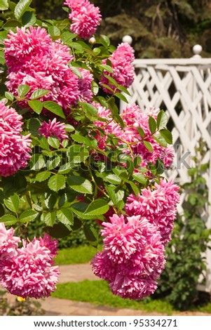Bush of beautiful pink roses in the garden in white wicker fence - stock photo