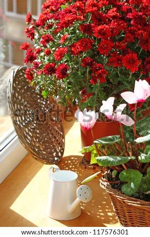 Bush of beautiful red chrysanthemum and watering can on a balcony by a sun day - stock photo