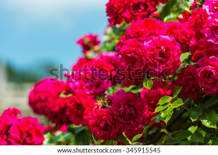 Bush of beautiful roses in a garden. Horizontal shot with a selective focus - stock photo
