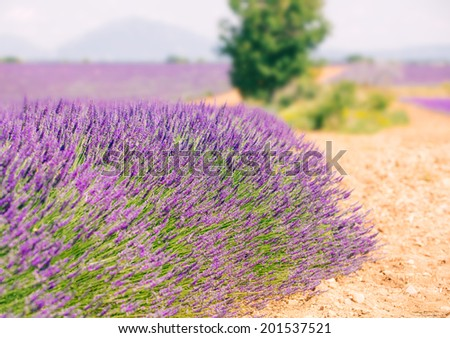 Bush of blooming lavender in a row at Plateau de Valensole, Provence, France - stock photo