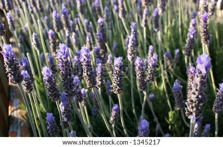 Bush of deep purple lavender - stock photo